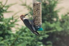Red Bellied Woodpecker (marylea) Tags: bird birdfeeder peanuts redbelliedwoodpecker 2016 jun17