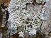Lobaria amplissima on ash tree (aburgh) Tags: blsfieldmeeting lobaria isleofskye corticolous foliose cephalodia
