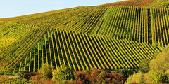 Lines in Vineyards (Habub3) Tags: lines canon germany deutschland vineyard stitch powershot g12 2015 linien weinberge weinstadt habub3