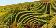 Lines in Vineyards (Habub3) Tags: lines canon germany deutschland vineyard stitch powershot g12 2015 linien weinberge weinstadt habub3