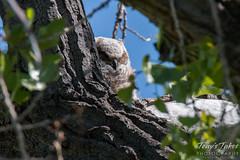 A sleepy Great Horned Owl owlet