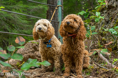 Louis and Bijou (Tri Minh) Tags: poodles oregon eaglecreek miniaturepoodles apricotpoodle redpoodle