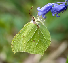 Brimstone on Bluebell (gailhampshire) Tags: butterfly brimstone gonepteryxrhamni gonepteryx rhamni