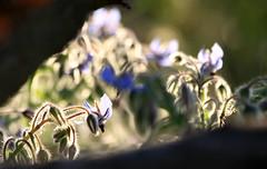 La friche (Emmanuelle2Aime2Ailes) Tags: fleurs lumière végétation bourrache