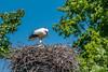 Mother stork and chick (DiDaDoDeborah) Tags: baby bird netherlands amsterdam birds nest chick chicks biology stork nesting amstelpark tamron70300 birdphotography birdlovers nikond5200