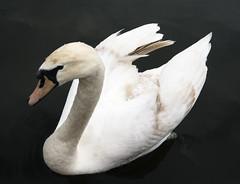 Swan (k8moonevans) Tags: uk england black bird water animal lumix canal swan background wildlife panasonic aquatic narrowboat waterway thorne zigane gx7 lifeafloat