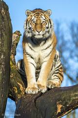 Panthera tigris / Tiger /  / Tiger (sttdk1) Tags: tiger siberian tigris amur amurtiger panthera altaica      sibiriske