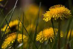 Dandelion in the gras (jensrother) Tags: wiese gras blte halm lwenzahn