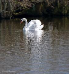 Silence ( Annieta ) Tags: bird netherlands spring swan sony nederland april lente oiseau cygne allrightsreserved vogel zwaan 2016 krimpenerwaard haastrecht annieta a6000 vogelplas usingthispicturewithoutpermissionisillegal