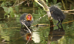 baby Coot losing it's head... (petegatehouse) Tags: reflection headless river ginger ripples coot stalbans stalbanspark babycoot riverver