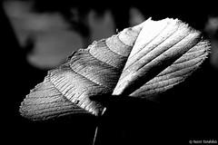 ~athens national garden~ (  1.000.000views!!!!) Tags: flowers blackandwhite plant monochrome blackwhite leaf pattern athens depthoffield foliage organic blackdiamond nationalgarden patern tasostsoukalasphotography