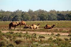 Camels in a paddock on the Pilliga to Narrabri Road (Ian Granland) Tags: camels camelsinaustralia