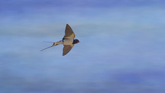 Swallow flight (Margaret S.S) Tags: bird barn flight swallow textured hirundinidae