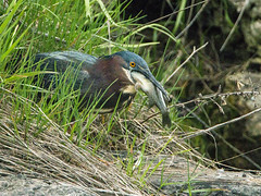Green Heron_5 (Thomas Muir) Tags: ohio fishing eating hunting swallow sequence bluegill oakharbor greenheron butoridesvirescens mageemarsh tommuir