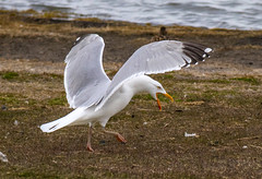 Herring gull (Larus orgentatus) / Silfurmfur (thorrisig) Tags: seagulls bird birds island iceland gulls fugl sland seabird herringgull