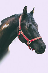 atticus finch (onapaperplane) Tags: red portrait horse white black cute film vertical painting 50mm paint background handsome finch american bolt dreamy lightning 18 halter matte equine atticus aph gelding forelock apha d5100