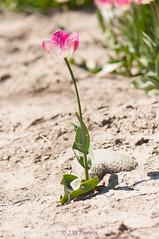 20160508-_DSC7682.jpg (BlonTT) Tags: polder bollen bloem tulp