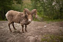 Big Horn Sheep (Zac Staffiere) Tags: rockies jasper hiking roadtrip alberta banff peyto