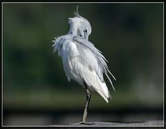 "Juvenile Little Blue Heron (Christine Fusco ~ ""Jersey Strong"") Tags: bird spring nikon southcarolina marsh migration transition plumage wader egrettacaerulea littleblueheronjuvenile"