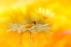 bee on heaven (C-Smooth) Tags: heaven bee daisy