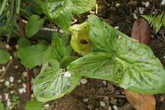 Aronstab in einem Winkel des Gartens (ebien) Tags: garden spring allotment garten frhling kleingarten schrebergarten frhblher frhlingsblume gardenplot