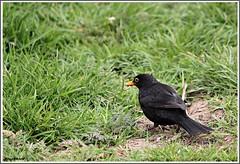Blackbird. (stu.bloggs..Dont do Sundays) Tags: male bird nature birds feeding wildlife ground british blackbird songbird foraging