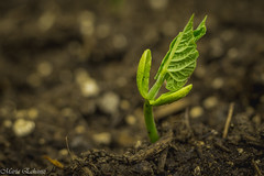 Hi there (MacaPDX) Tags: plants green nature yard spring beans ground vegetable depthoffield dirt sprouting gardenbed