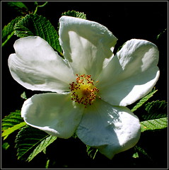 Rosa canina (* RICHARD M (5 million views)) Tags: flowers nature leaves rose petals flora shadows rosa stamen wildrose wildflowers southport dogrose merseyside sefton lightandshade rosaceae rosacanina heskethpark