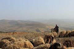 Genti e paesi (Daniele Redamante) Tags: sunset sky dog cane tramonto desert sheep shepherd jordan cielo fields colline deserto pecore pastore campi giordania gregge