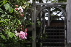 20160604_Back Home (Damien Walmsley) Tags: colour home rose gate elizabethan knowle elizabethanknotgarden