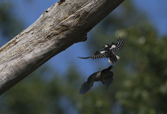 Greater Spotted Woodpeckers (Chris Bainbridge1) Tags: dendrocoposmajor greaterspottedwoodpecker