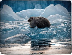 Seal on Ice (Firery Broome) Tags: travel blue brown cold ice nature water animal photoshop reflections landscape mammal iceland colorful aqua europe dof wildlife floating olympus seal nik iceberg resting 365 waterscape waterreflections worldtravel naturelovers earthnature alienskin colormonochrome viveza exposurex olympusem10 europe2014
