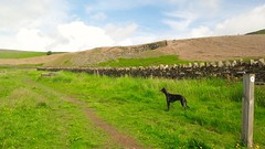 Dog walk around around Embsay Reservoir (GothiclyInclined) Tags: summer dog countryside scenery yorkshire country scenic whippet reservoir fields summertime moor northyorkshire dogwalk moorland embsay drystonewalling embsayreservoir