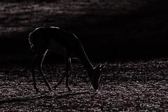 Clair obscur - Chiaroscuro ! (jm.buchet (VisionNatureJMB)) Tags: park southafrica desert du namibia kalahari clair ktp sud springbok afrique dsert obscur transfrontier namibie kgalagadi