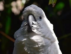 (careth@2012) Tags: portrait bird nature wildlife beak feathers headshot cockatoo