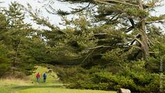 CVPS Hornby 1-3240205.jpg (Nimisha Jimenez) Tags: seagulls clouds waterfall arbutus daffodils hornby vinca treesculpture treetexture fawnlilies cvpsmembers