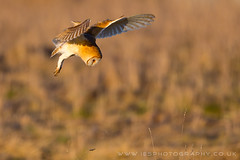 Barn Owl (iesphotography) Tags: uk bird nature animal canon flying wildlife owl 500mm barnowl birdofprey birdinflight 1dx