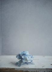 simple (borealnz) Tags: blue flower hydrangea simple