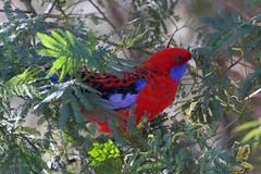 Crimson Rosella. (Byron Taylor) Tags: crimson birds canon wildlife parrot australia cockatoo rosella sulphurcrestedcockatoo crimsonrosella canon7d
