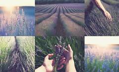 (Coral ML) Tags: flowers light sun flores color luz stairs landscape atardecer hands guadalajara manos amanecer estrellas verano campos calor aroma lavanda castillalamancha morado silvestres olor floracin