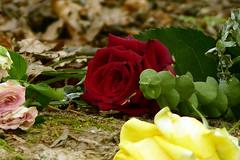Evanescence (Michael Eickelmann) Tags: evanescence traniense transitoriness transiency vergnglichkeit flchtigkeit kurzlebigkeit zeitlichkeit grief mourning sorrow misery trauer kummer schmerz leid betrbnis sorge traurigkeit elend jammer qualen rose flowers blumen blossoms blten