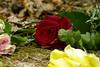 Evanescence (Michael Eickelmann) Tags: evanescence traniense transitoriness transiency vergänglichkeit flüchtigkeit kurzlebigkeit zeitlichkeit grief mourning sorrow misery trauer kummer schmerz leid betrübnis sorge traurigkeit elend jammer qualen rose flowers blumen blossoms blüten