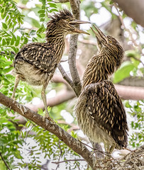 Sibling Rivalry (Wes Iversen) Tags: trees nature leaves birds michigan branches royaloak detroitzoo coth juveniles nikkor80400mm coth5