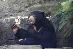 30-11-2015-taronga 799 (tdierikx) Tags: mary taronga tarongazoo sunbear tdierikx 30112015taronga