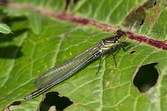 Red-eyed damselfly imm m (Steve Balcombe) Tags: male somerset damselfly levels odonata zygoptera redeyed najas erythromma avalonmarshes rspbhamwall