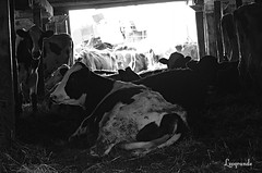 025 (d315thedeity) Tags: animals barn cows farm dairy