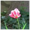 stand alone - HBW! (karma (Karen)) Tags: flowers texture dof tulips bokeh maryland ivy baltimore squared 4spring hbw bokehwednesdays