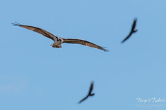 An Osprey circles its nest as the Turkey Vultures pass overhead