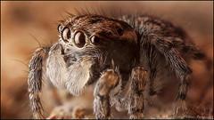 Male Maratus juvenile closeup (GTV6FLETCH) Tags: macro canon spider au australia nsw jumpingspider macrophotography salticidae mpe65mm palp peacockspider canonmpe65 canoneos5dmark2 peacockjumpingspider juvenilemaratus