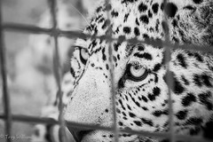 leopard eyes (troy_williams) Tags: education conservation wanderlust leopard wandering bigcats cencal cathaven travellingshutter nikond800e nomadphotog troywilliamsphoto bigcatpreservation